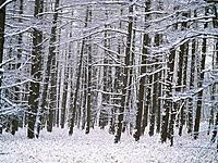 Bare trees covered in snow