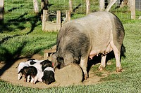 Basque piebald piglets and sow.