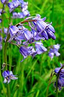 Common Bluebell Hyacinthoides