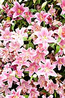 Bush of pink lilies