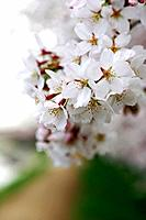 Blossoming pink flowers on a cherry tree