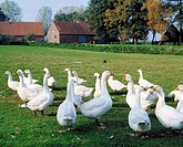 agriculture, poultry farming, gaggle of geese on a meadow in front of a farm, D-Haltern am See, Lippe, Stever, nature reserve Hohe Mark, Die Haard, Ru...
