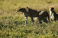 Cheetahs, Acinonyx jubatus, in the Maasai Mara, Kenya.