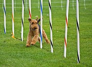 This airedale terrier dog is running in a dog show, through an obsticle course, weaving through poles  Taken on Sept  16, 2010 in Oak Harbor, Washingt...