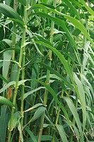 Giant reed arundo donax foliage  Azores islands, Portugal