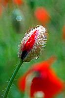 small red weed