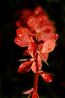 red barberries leaves covered in raindrops berberis