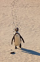 AFRICAN PENGUIN, False Bay, South Africa, Africa.