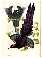 Male Elliot´s sicklebills Epimachus ellioti, artwork. This bird is also known as Elliot´s bird of paradise. Illustration from a first edition of ´Bird...