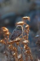 LITTLE OWL Athene noctua.
