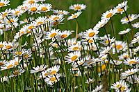 Marguerite Flowers
