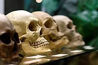 Human skulls standing on the glass shelf