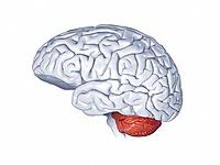 Human brain anatomy. Computer artwork showing the left hemisphere of a human brain. The front of the brain is at left. The three main structures shown...