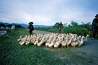 Golden Triangle. Fields. Road. Flock of white ducks being driven by two people. One on bicycle.