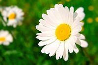 beautiful chamomile