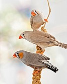 three Zebra Finches at millet