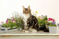 Maine Coon cat _ sitting between flowers