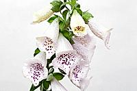 Closeup of wet foxglove flowers.