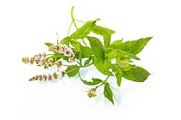 Green mint leaves with blossom isolated