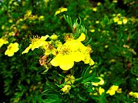 yellow potentilla