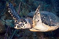 Underwater Life: A Hawksbill Sea Turtle Eretmochelys imbricata swimming underwater over a tropical coral reef in the Caribbean Sea. Grand Cayman, Caym...