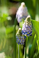 Muscari aucheri Ocean Magic