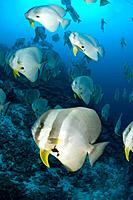 Large schools of Batfish swim around Thundercliff dive site,Christmas Island.