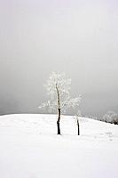Ice_coated tree on snowy hill, with grey winter sky