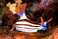 Purple_lined nembrotha nudibranch,nembrotha purpureolineata,can be found living in the waters by Lembeh Island.