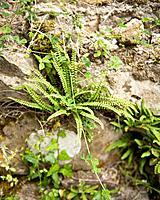 Ferns are often oppotunistic and grow in unusual places such as cracks in walls and thrive in shady damp poisitions.