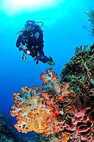 Colorful Soft Corals and Scuba Diver, Dendronephthya sp., Bali, Indonesia