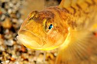 Close up of Eelpout, Zoarces viviparus, White Sea, Karelia, Russia