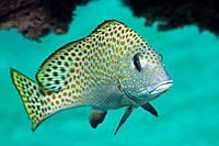 Goldspotted Sweetlips, Plectorhinchus flavomaculatus, Cenderawashi Bay, West Papua, Indonesia