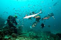 Scuba diver feeding Snappers, Lutjanus sp., Beqa Lagoon, Viti Levu, Fiji