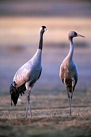 Common Crane (Grus grus) -an adult and a young one on the right- in the wildlife reserve of Gallocanta, Aragon, Spain