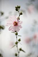 A pale pink prairie mallow in flower, Sidalcea Elsie Heugh