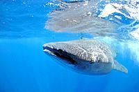 Whale Shark, Rhincodon typus, Yucatan, Caribbean Sea, Mexico