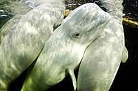 Three Beluga Whales, Delphinapterus leucas, White Sea, Karelia, Russia