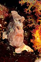 Pointed Frogfish, Antennarius pictus, Hamata, Red Sea, Egypt