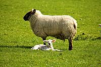 adult sheep with lamb, dublin county dublin ireland