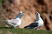 two fulmar procellariidae with beaks open, noss scotland