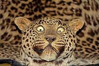 Skin of Leopard panther, panthera pardalis in a Museum, Miao, Arunachal Pradesh, India