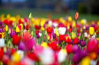 a variety of colored tulips in a field at wooden shoe tulip farm, woodburn oregon united states of america