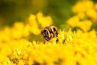 the bee III