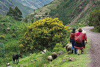 Two People Walk With Their Animals Down A Road In The Andes Mountains, Peru
