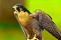 Peregrine falcon Falco peregrinus, Deer Mountain Tribal Hatchery and Eagle Center, Ketchikan, Alaska USA