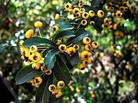 Yellow berries