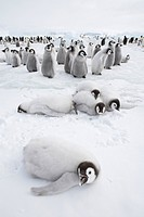 Emperor Penguin Aptenodytes forsteri chicks, group at edge of colony, Snow Hill Island, Weddell Sea, Antarctica