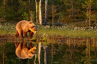 European Brown Bear Ursus arctos arctos adult, walking beside pool with reflection in evening sunlight, Finland, june