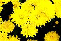 Yellow chrysanthemum.